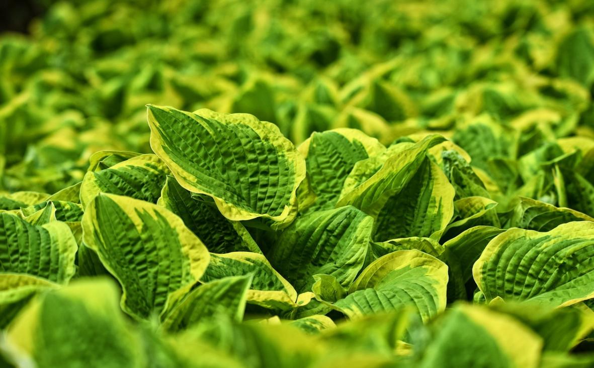 zelený jitrocel